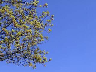 maple blossoms