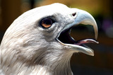 malaysia, langkawi: famous eagle of langkawi poster