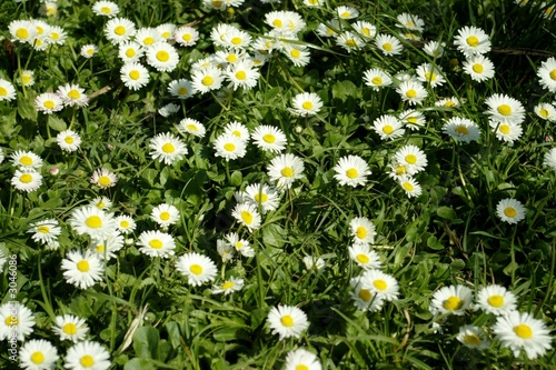 daisies in a spring day