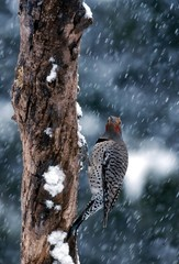 northern flicker in the snow (colaptes auratus)
