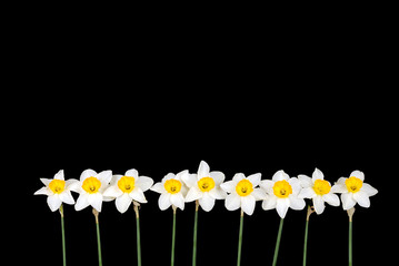row of narcissus
