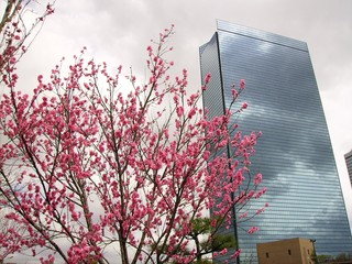 sakura and skyscraper