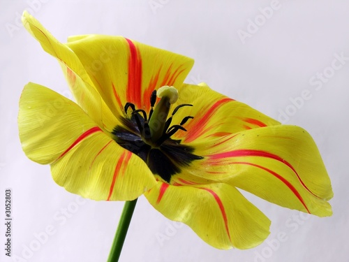 tulip with blackpollen