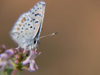 papillon curieux