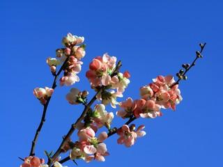 spring blossom on blue background,