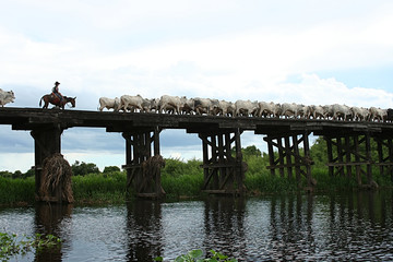 cowboy herding cattle over bridge