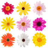 Fototapety daisy collection