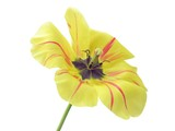 yellow tulip with black pollen poster