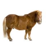 Fototapety poney shetland (15ans)