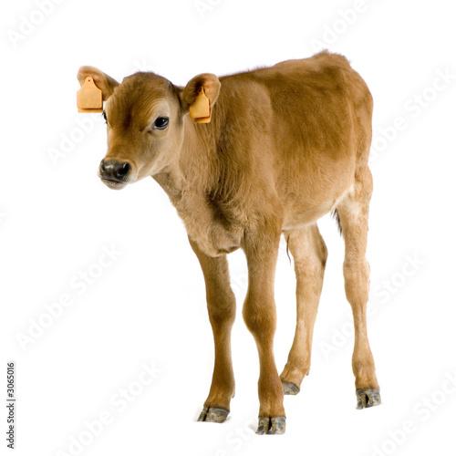 Papiers peints Vache veau (45 jours)