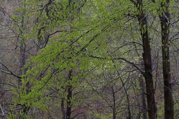 dogwoods in the rain