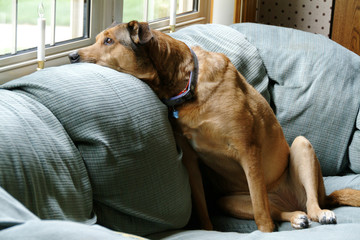 family dog on  the couch looking out window