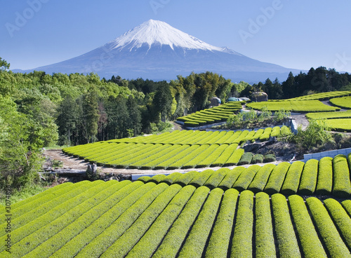 Foto Spatwand Japan green tea fields iv