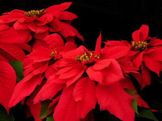 red pointsettia on black