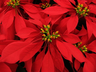 gorgeous pointsettia