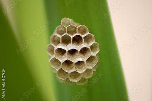 nid de guepes - macro d'un nid d'abeille / guepe
