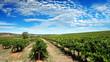 clear sky vineyard