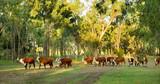 herding of cattle poster