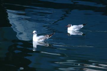two gulls3
