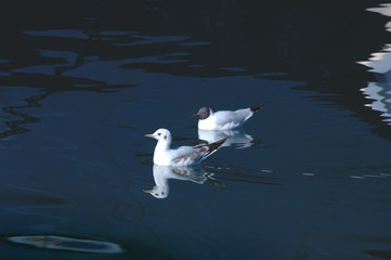 two gulls2
