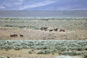 wild horses on the open range