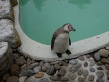 baby of humboldt penguin in the zoo poster