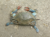 crab - blue crab overhead view poster