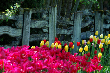 tulip blossom by the old fence