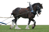 clydesdale in harness poster