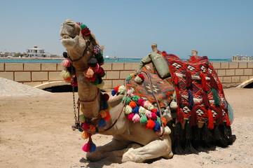 camel on seacoast