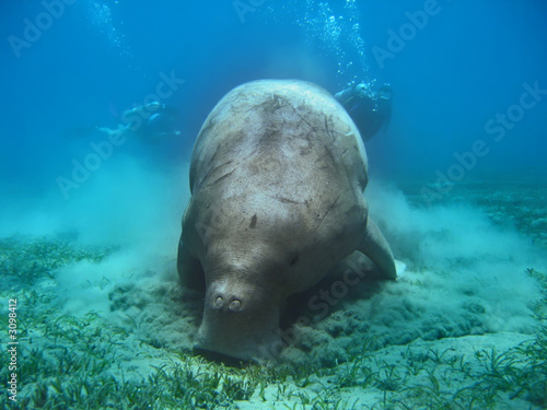 Leinwandbild Motiv dugong - seekuh