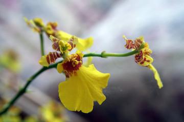 orchidea gialla e rossa