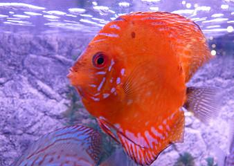 tropical fish, coral gold fish
