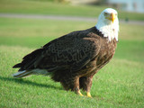 huge bald eagle closeup poster