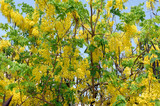 thailand, bangkok: golden shower tree poster