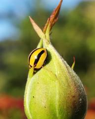 ladybird type 1.