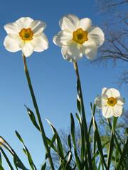 """""""flowers"""": back-lit jonquils reaching skyward"""