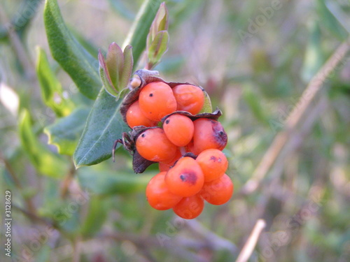 orange berrys
