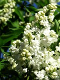 white lilac blooming poster