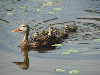 serenity in duck pond