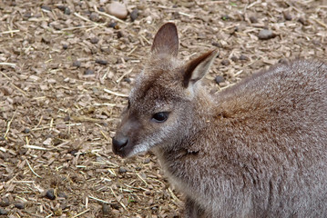 wallaby i