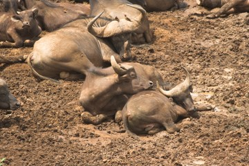african cape buffalo in mud