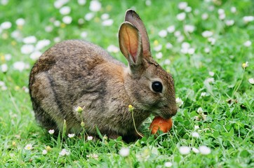 young wild rabbit nibbling a carrot