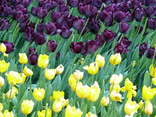 tulipes noires et jaunes.