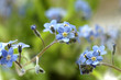 forget-me-not at spring
