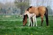 roleta: deux chevaux