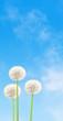 pissenlits sur fond de ciel bleu