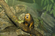 golden lion tamarin 3