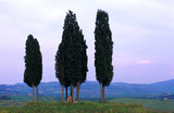 cypresses in tuscany poster