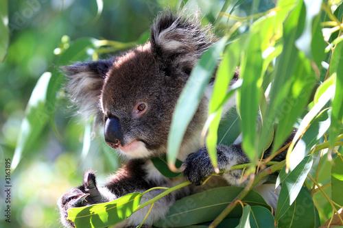 Fotobehang Koala australien_07_ 0205,02